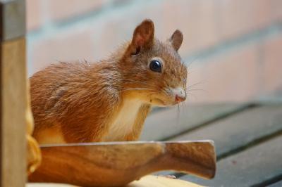 eichhörnchen.17082020_k