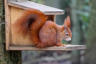 eichhörnchen.20200114-hoerni14012020.105_k