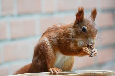 eichhörnchen.stz01102020_k